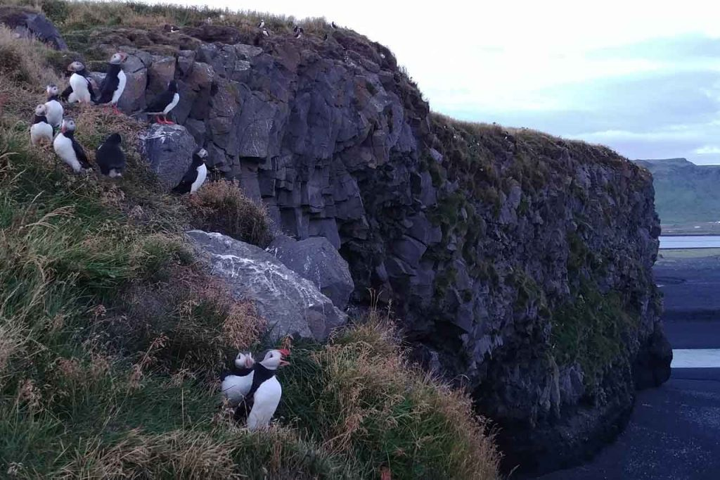 Observing puffins on the cliffs