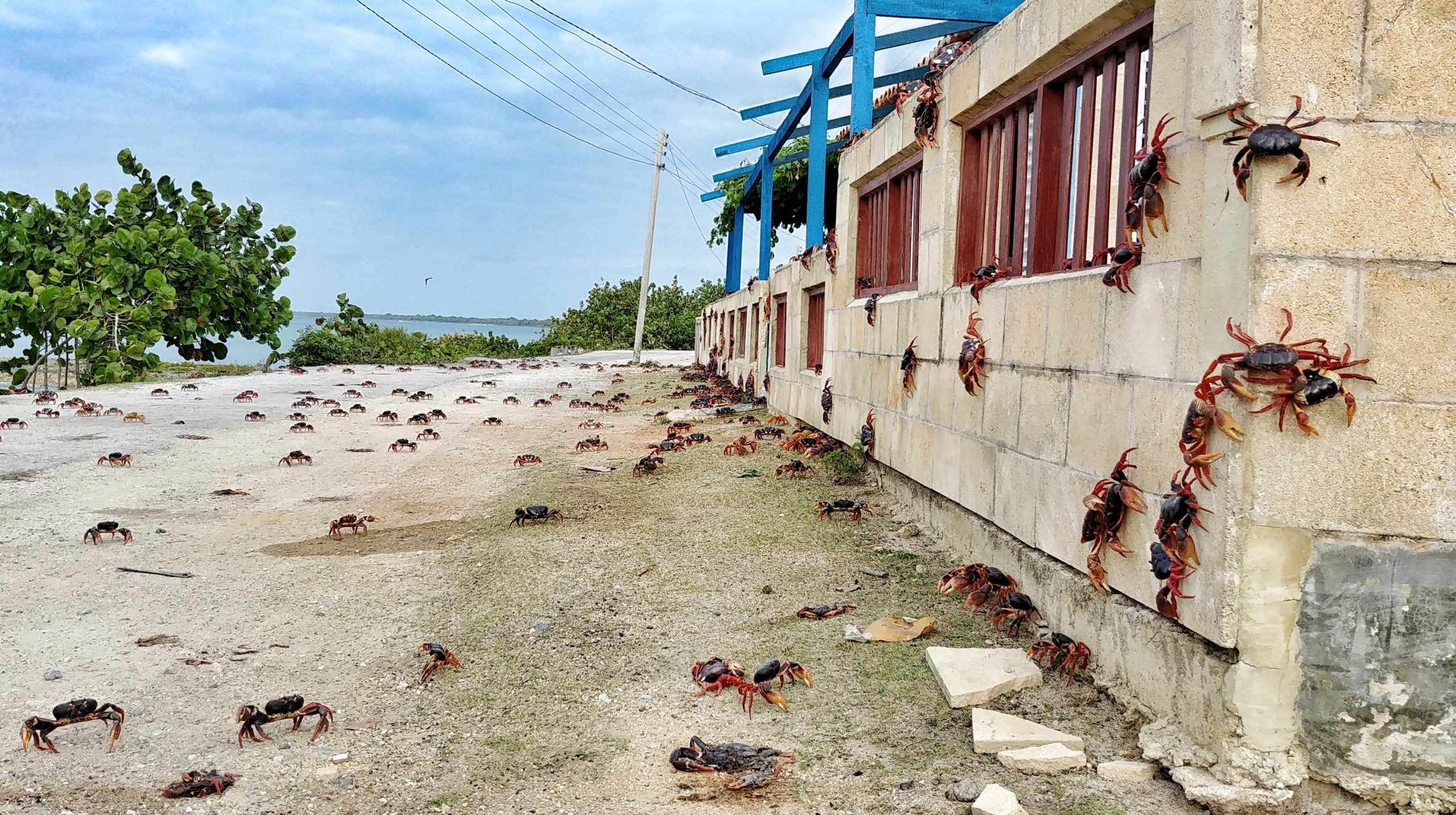 Crab invasion in Cuba
