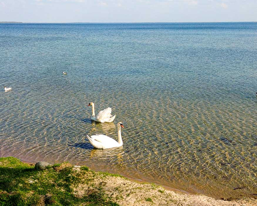 Swans on the lake Narach in Belarus