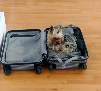 Small yorkshire in a suitcase